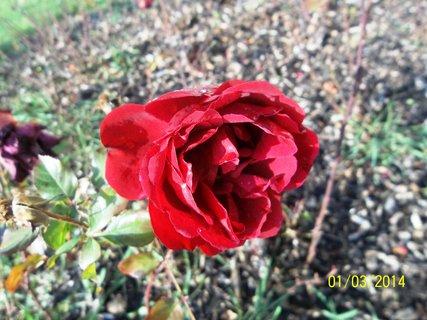 FOTKA - leden a v Kroměříži kvetly růže