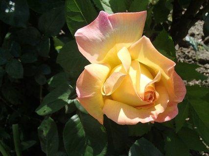 FOTKA - ruža z leta