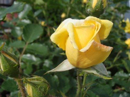 FOTKA - žltá - že vraj ruža žiarlivcov