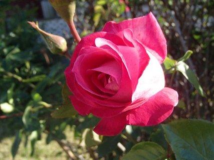 FOTKA - ruža osvetlená slnkom