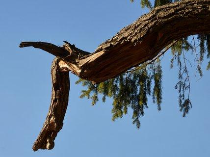 FOTKA - Rohatá větev