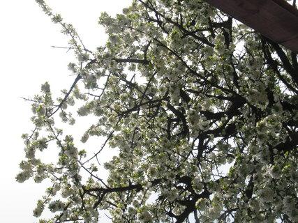 FOTKA - rozkvetly strom