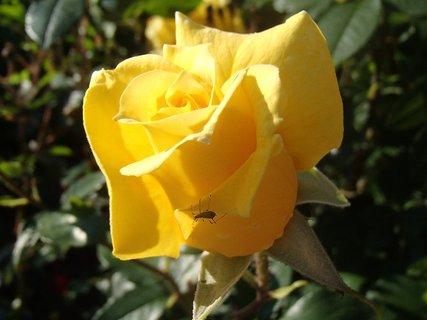 FOTKA - žltá ruža aj s hmyzom