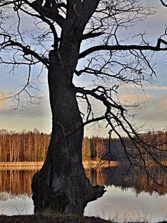 FOTKA - Starý dub na hrázi