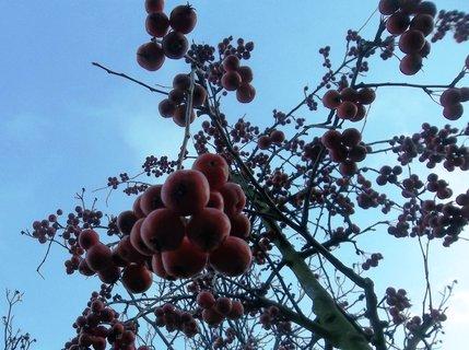 FOTKA - kuličky visí ze stromu...