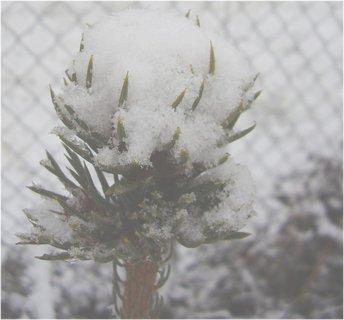 FOTKA - špička smrčku není ani vidět pro sníh