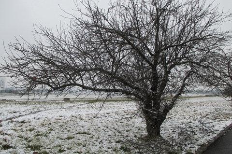 FOTKA - Zasněžená jablůňka