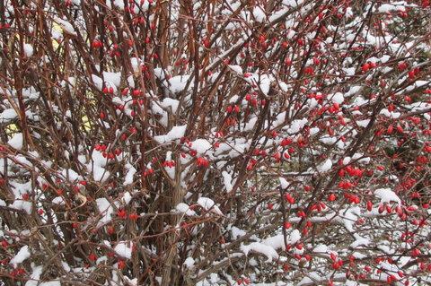FOTKA - Šípek pokrytý sněhem