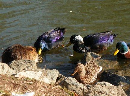 FOTKA - Krásně zbarvené kačky čekají jestli se s nima nutrie rozdělí