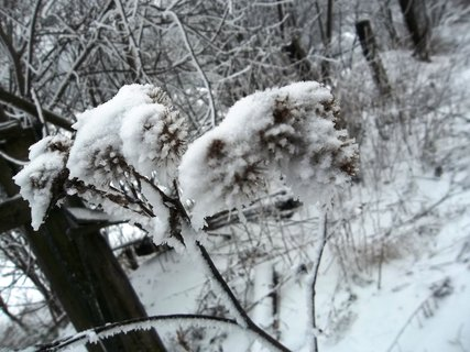 FOTKA - omrzlý suchý bodlák