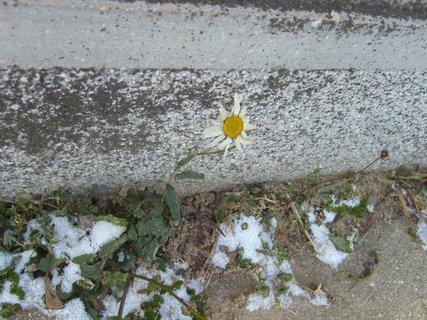 FOTKA - zmrzlá kopretina