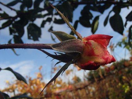 FOTKA - kvapky na ruži, fotka nie je otočená, ruža tak rastie :)