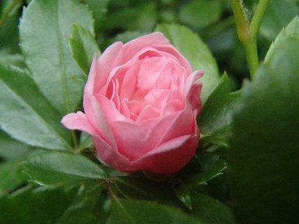 FOTKA - rozvíjajúca sa ružová ruža