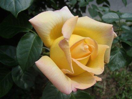 FOTKA - jemná žltooranžová ruža