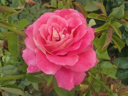 FOTKA - ruža z minulého roka