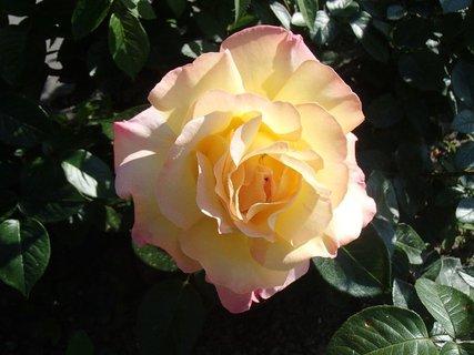FOTKA - jedna ružička