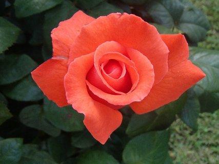 FOTKA - ruža oranžovej farby