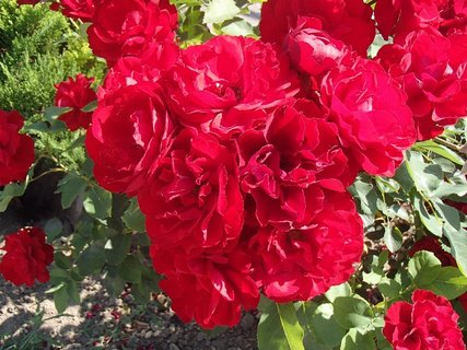 FOTKA - červené ruže z leta