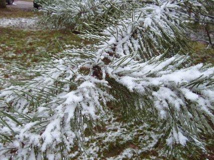 FOTKA - zasněžená borovice