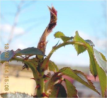 FOTKA - na růžích rostou nové listy