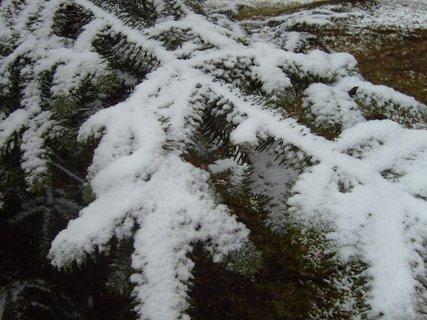 FOTKA - zasněžená smrková větev