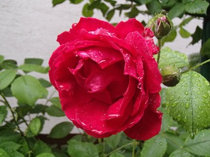 FOTKA - červená ruža po daždi