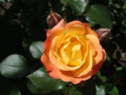 FOTKA - dvojfarebná ruža s dvoma pukmi