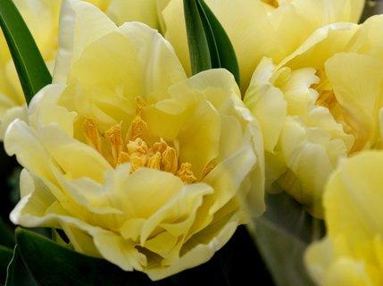 FOTKA - Holandské tulipány v akci