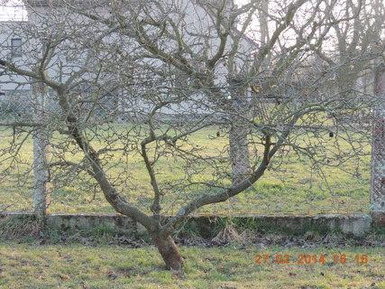 FOTKA - Stará jabloň