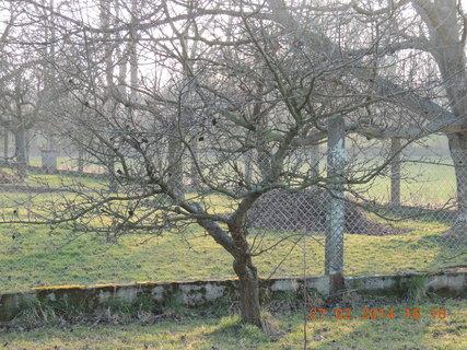 FOTKA - Druhá stará jabloň