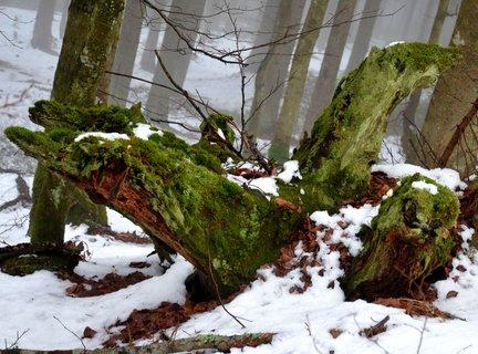 FOTKA - Šumavská saň