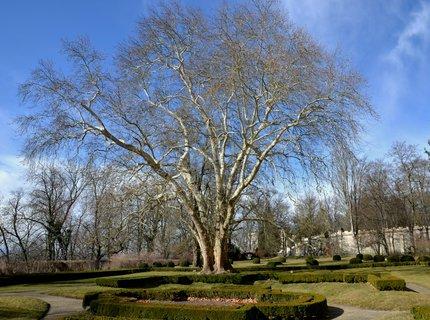 FOTKA - Platan v zámecké zahradě