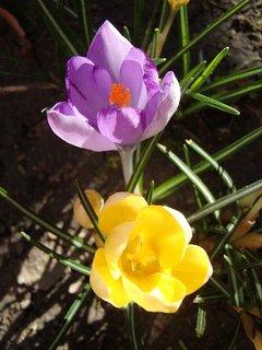 FOTKA - fialový a žltý