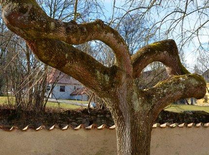 FOTKA - Okatý strom