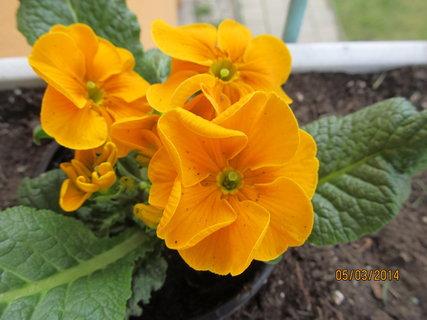 FOTKA - Oranžová primulka