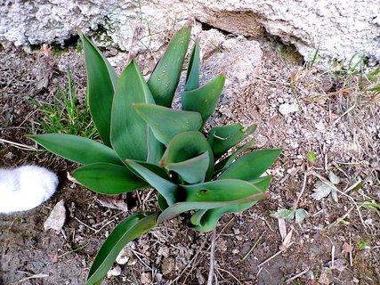 FOTKA - tulipány i kocouří zvědavou pacičkou