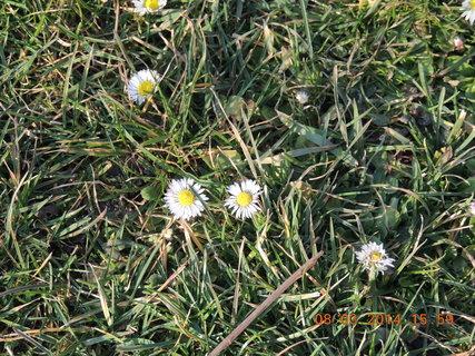 FOTKA - Sedmikrásky v trávě 8.3. 2014