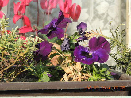 FOTKA - Maceška na okně venku, brambořík v pokoji 8.3.2014