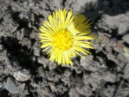 FOTKA - podběl kvete