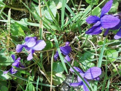 FOTKA - letošní fialky.