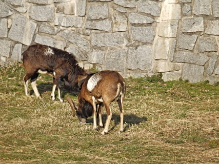 FOTKA - Mufloni pod pivovarem