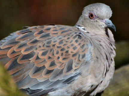 FOTKA - Divoký holub v zoo