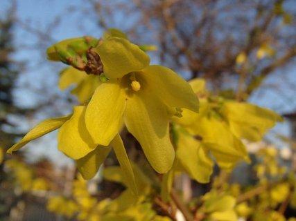 FOTKA - zlatý dážď už kvitne
