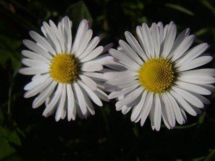 FOTKA - dve sedmokrásky