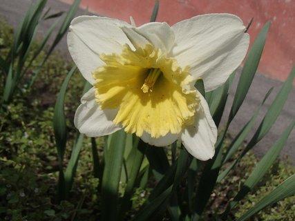 FOTKA - dvojfarebný narcis