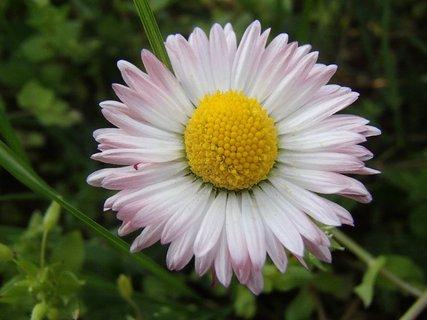 FOTKA - krása sedmokrásky