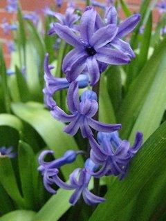 FOTKA - skalkové hyacinty