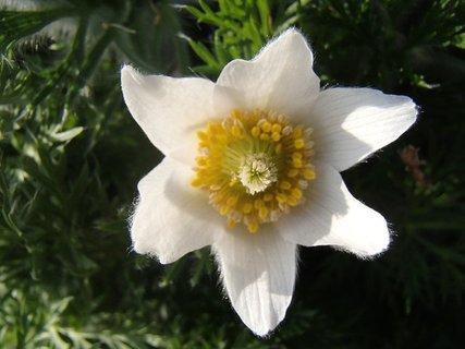 FOTKA - kvet čemerice