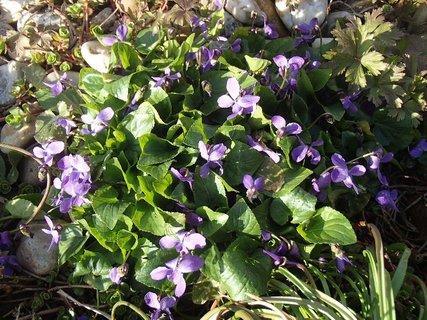 FOTKA - fialky zo z�hrady