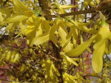 FOTKA - zlatý dážď krásne kvitne